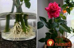 How to root a rose from a bouquet. Use natural stimulants for root formation! - The World of Plants Balcony Garden, Indoor Garden, Garden Plants, Indoor Plants, Growing Roses, Garden Care, Ikebana, Houseplants, Orchids