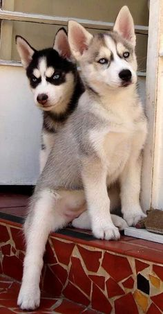 Husky puppies with full masks, they look so bad ass!