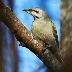 Kop kop! Onnistunein lintukuvani tältä keväältä tähän mennessä. Harmaapäätikkaa en ole usein nähnyt tänään sain oikein kuvankin muistoksi. #harmaapäätikka #picuscanus #greyheadedwoodpecker #birdphotography #yleluonto #birdsofinstagram #birdwatching #bestbirdshots #naturelover