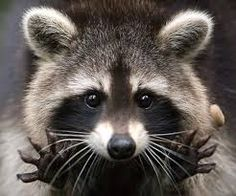 raccoon- surprise
