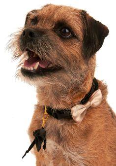 for the canine ring bearer.--- training ham asap