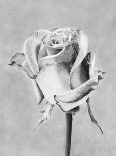 Rose Queen of Flowers Photo Print - art artwork picture diy unique Graphite Art, Graphite Drawings, Charcoal Drawings, Artwork Pictures, Photos, Rose Queen, Photo Print, Oil Pastel Drawings, Still Life Drawing