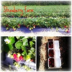 Strawberry Farm Strawberry Farm, Strawberries, Gardening, Table Decorations, Crafts, Home Decor, Strawberry Fruit, Manualidades, Lawn And Garden
