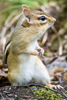 Eastern Chipmunk - We have several of these cuties at our place. So much fun to watch.