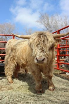 This is Brick! He's a Scottish Highland bull, and you can meet this gentle guy along with dozens of other #adorable #animals at The Menagerie: Bradt's Mammals & More in Alva, #Oklahoma.