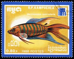 Paradise fish, Cambodia, 1988