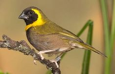 Cuban Melodious Finch - Males are very aggressive towards their own kind and similarly colored birds.