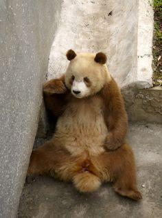 Meet QiZai, the remarkable brown-and-white giant panda! He's beautiful, isn't he?