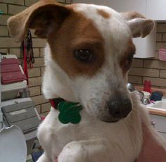 Adopt a Dog: Jack Russell Terrier Mix