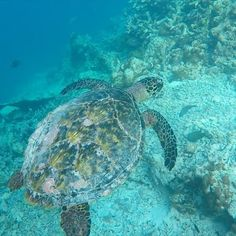 @Kandolhu is the perfect island in the Maldives for swimming with turtles! They pretty much swim right up to you! 😍🐢😍