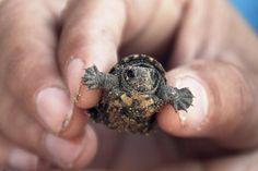 omg baby turtle !!