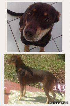 Lost Dog - Labrador Retriever - Miami, FL, United States