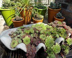 danger garden: Succulents on the half shell
