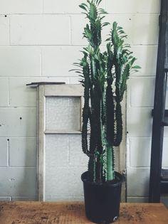 Euphorbia Trigona or African Milk tree