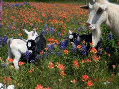 Baby pygmy goats born 3/22/2012 and their mamma, romping in the Texas Bluebonnets and Indian Paint Brush wild flowers