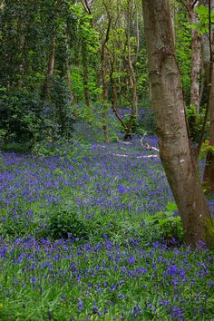 Bluebell Wood, UK - I miss this every year!