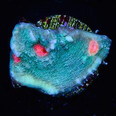 WWC Super Freak Chalice Reef Tanks, Fish Tanks, Chalice Coral, Marine Tank, Glass Aquarium, 9th Anniversary, Corals, Stuffed Animal Patterns, Underwater