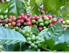 Coffee Berries, Kona, Hawaii