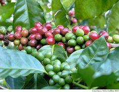 Coffee Berries, Kona, Hawaii