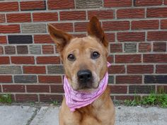 NYC SUPER URGENT - NINA A/KA/ HENRIETTA / RODNEY - A0953476  *** RETURNED AS A STRAY ON 4/29/14 ***FEMALE, BROWN / WHITE, GERM SHEPHERD, 10 yrs STRAY DueOut Date 05/05/2014 https://www.facebook.com/photo.php?fbid=791412900871591&set=a.617941078218775.1073741869.152876678058553&type=3&theater#!/photo.php?fbid=797306850282196&set=a.617942388218644.1073741870.152876678058553&type=3&theater