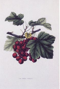 ✿Fruits & Vegetables✿ Grapes ~Botanical Art