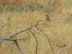 Bee-eater, Abejaruco europeo (Merops apiaster)