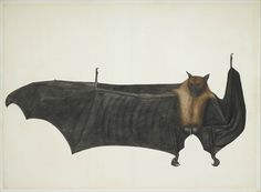 Great Indian Fruit Bat. Painting attributed to Bhawani Das or a follower, ca. 1777–82, India, Calcutta. Pencil, ink, and opaque watercolor on paper. Painting: Ht. 23 1/2 in. (59.7 cm) W. 32 3/4 in. (83.2 cm) Mat size: Ht. 27 1/4 in. (69.2 cm) W. 35 1/2 in. (90.2 cm). Purchase, Anonymous Gift, Cynthia Hazen Polsky Gift, Virginia G. LeCount Bequest, in memory of The LeCount Family, 2007 Benefit Fund, Louis V. Bell, Harris Brisbane Dick, Fletcher, and Rogers Funds and Joseph Pulitzer Bequest…