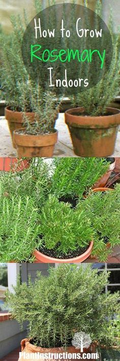 Urban Garden Growing rosemary is easy with these DIY tips and tricks! - Learn how to grow rosemary indoors or in a pot! Rosemary adds a world of depth to any dish and will smell amazing in your kitchen! Growing Herbs, Growing Vegetables, Rosemary Growing, Landscaping Tips, Garden Landscaping, Rosemary Plant Care, Rosemary Herb, Rosemary Garden, Peace Lily