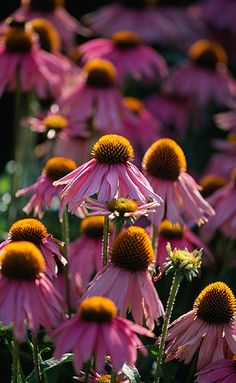 Echinacea 'Kim's Knee High' - cone flower Just think! I have the honor of knowing the amazing Kim! Pink Garden, Dream Garden, Fall Flowers, Pretty Flowers, Flowers Nature, Trees And Shrubs, Trees To Plant, Amazing Flowers, Horticulture