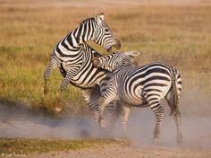 19. Zebra fight