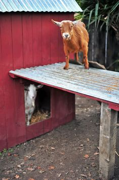Backyard Urban Homestead Nigerian Dwarf Dairy Goat Pen and Barn