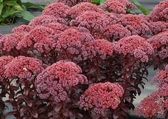 """Dwarf Stonecrop (Sedum 'Dark Magic') has a short, very upright habit with glossy, purple-black leaves, amazing, huge inflorescences and dark pink flowers in August through October.  Remarkably healthy and long-lived.  Full sun; requires good drainage; 12""""H x 20""""W;  Zones: 4 to 9."""