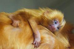 Golden Lion Tamarin baby