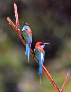 """walladoraffy: """" """"Rain on me!"""" Blue-throated Bee-Eaters (Merops viridis), in the Danum Valley Rainforest, Borneo """" Photo credit: ©Roger Sargent River Pictures, Bird Pictures, Tropical Birds, Colorful Birds, Small Birds, Pet Birds, Danum Valley Conservation Area, Borneo Rainforest, Slow Loris"""