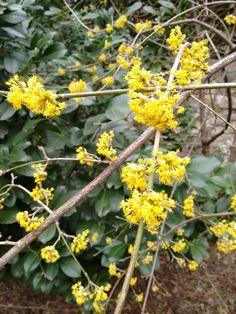 Blühende Kornelkirsche Sunshine, Plants, Nikko, Plant, Planets