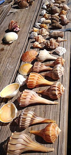 Lightning whelks, cockles, scallops, olives, etc. at Sanibel Island, Florida ◆ USA || Sea Shells