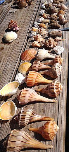 Shells- Sanibel Island, Florida