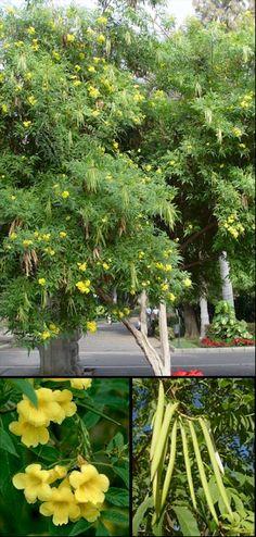 Flores de la caesalpinia gilliesii de color amarillo - Caesalpinia gilliesii cultivo ...