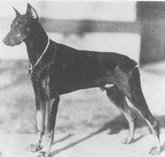 Doberman 1929 Muck V. Brunia