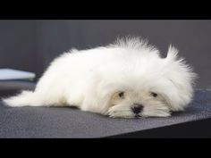 A baby angel from heaven. Baby Engel, Yorky, Maltese Dogs, Kittens And Puppies, Lhasa Apso, Baby Dogs, Dog Care, Dog Grooming, Small Dogs