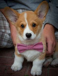 It can feel like you're this corgi puppy wearing an awkward bow tie that doesn't even match your coat of fur: