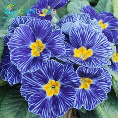 *200 Seed 9 Kinds Rare Primrose Flower