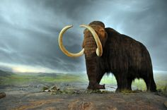 Woolly Mammoth in  Royal BC Museum in Victoria (Canada)
