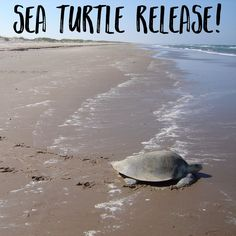 It is time for another Sea Turtle Release! http://hamptonroads.myactivechild.com/blog/sea-turtle-release/