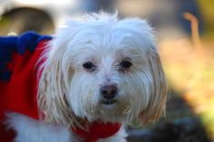 Introducing Ozzy, a senior 10-years-young purebred White Havanese. Ozzy enjoys cats and dogs he's met while staying with us, showing off his friendly easy-going side. We're looking for a family that understands he may need time to warm up after getting to know you. Ozzy might enjoy the company of other animals his size to ease his transition into your home. He's quite the gentleman! View Ozzy's full profile online at www.seattlehumane.org