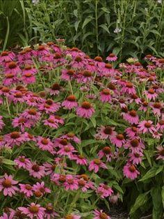 Echinacea purpurea 'PowWow Wild Berry' - drought tolerant perennial