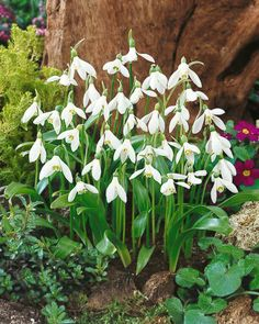 Galanthus ikairae.  These flowers remind me of fairies opening their wings