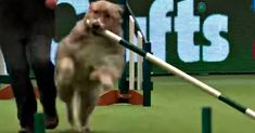 Dog House Outdoor Rescue Dog Breaks Every Rule While Running Agility Course For The Last Time.Dog House Outdoor Rescue Dog Breaks Every Rule While Running Agility Course For The Last Time Dog Grooming Clippers, Dog Grooming Shop, Dog Grooming Business, Poodle Grooming, Unusual Dog Breeds, Best Dog Breeds, Best Dog Food, Best Dogs, Big Dog Toys