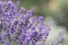 Especias o hierbas perfectas para decirle adiós a la grasa abdominal: Lavanda