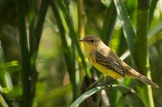 The warbling doradito (Pseudocolopteryx flaviventris) is a species of bird in the Tyrannidae family. It is found in swamps and riparian habitats in central and northern Argentina, Paraguay, Uruguay and southern Brazil. The population breeding in Chile and western Argentina has usually also been included in the warbling doradito. It is visually extremely similar, but vocally distinctive and has recently been recognized as a separate species, the ticking doradito (P. citreola).